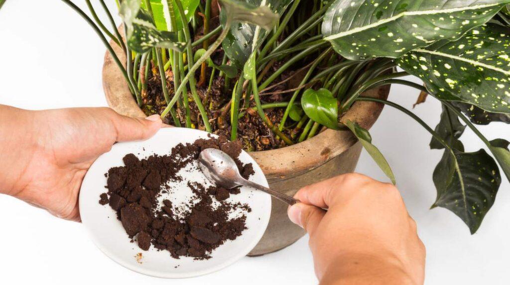 Kaffesump i jorden minskar pH-värdet och ger färggrannare blommor.