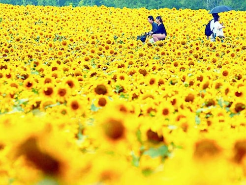 Fält med solrosor i Japan.