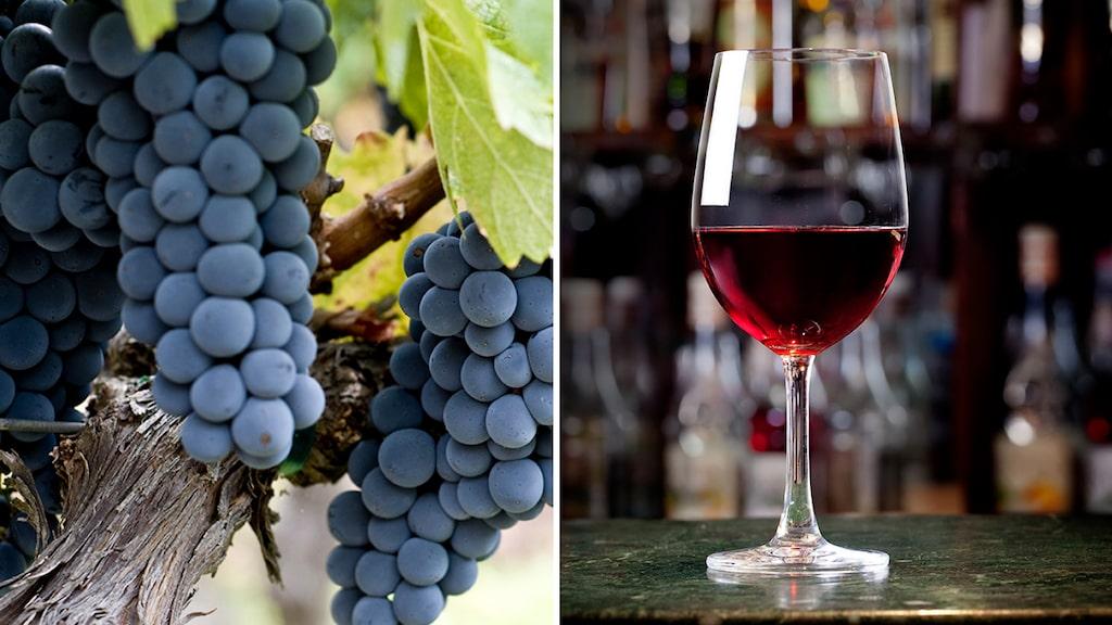 Zinfandel med finess kan vara fantastiskt gott, enligt Allt om Vins Andreas Grube. En av druvorna bakom de tre favoriterna från USA.