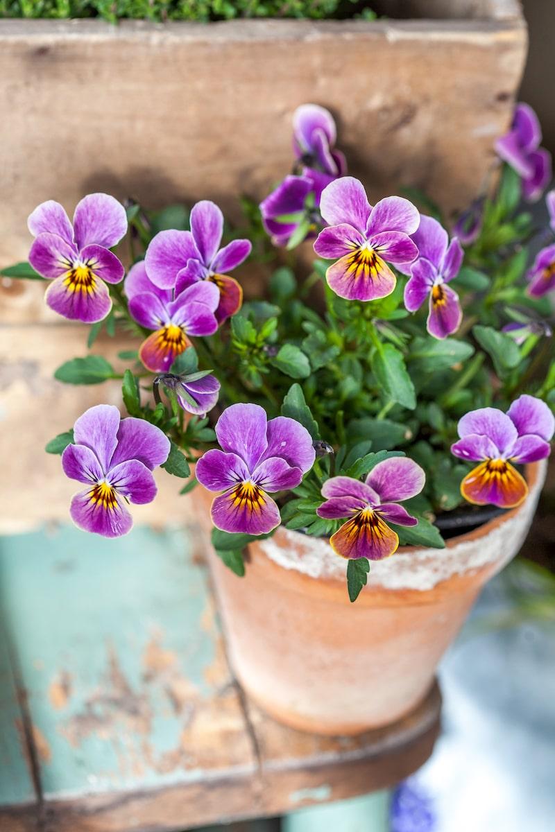 Penséerna är de bästa växterna att starta vårplanteringen med. De tål både frost och kyla.