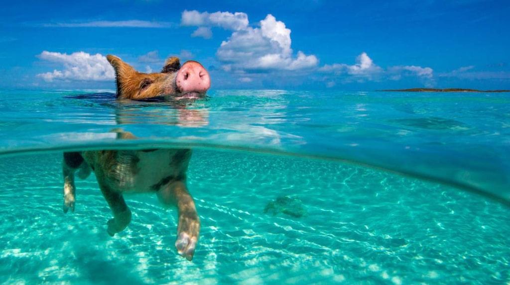 <p>Simma med vilda grisar på Bahamas.</p>