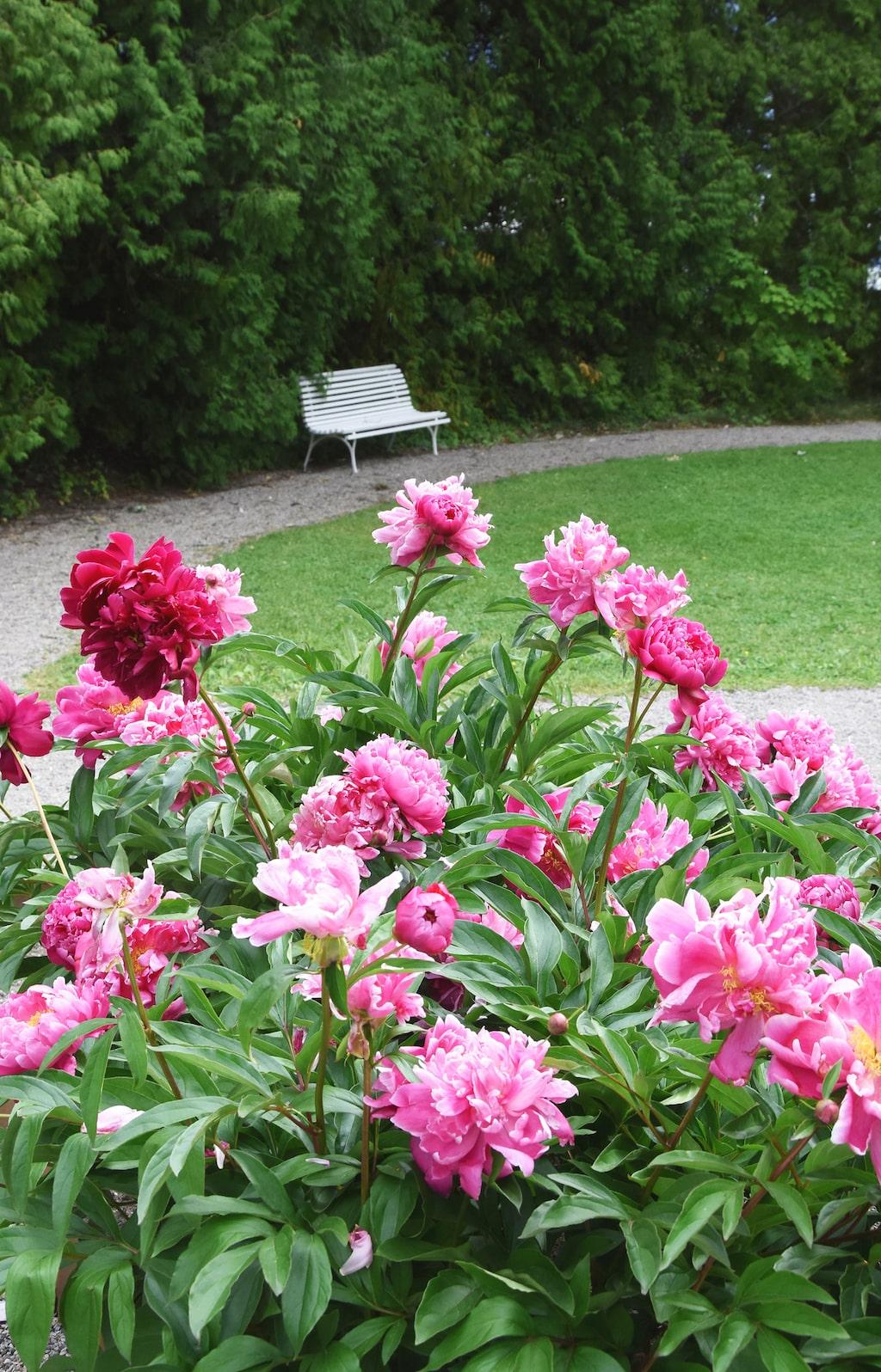 En pion växter i regel ganska långsamt. Om man köper en liten planta tar den ofta god tid på sig innan den blommar.