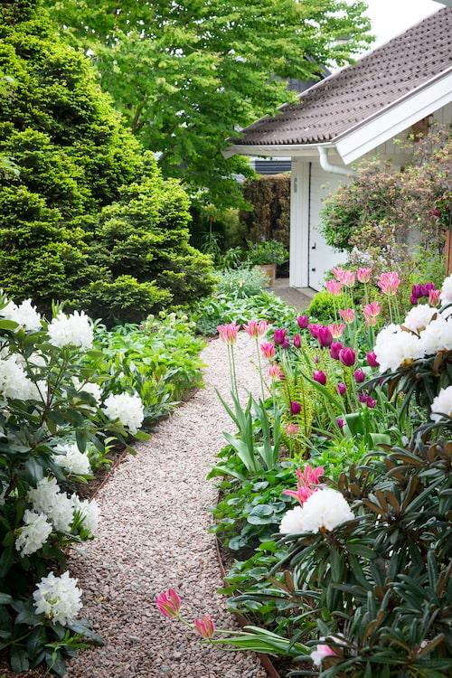 Framsidan av Evas och Bosse hus har en lite mer formell framtoning, med en slingrande gång, härliga vita rhododendronblommor och massor av tulpaner.
