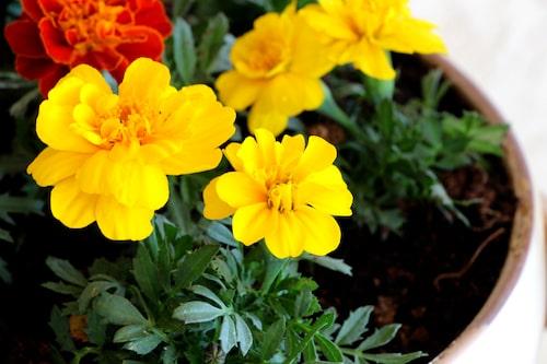 Blomman angrips sällan av parasiter.