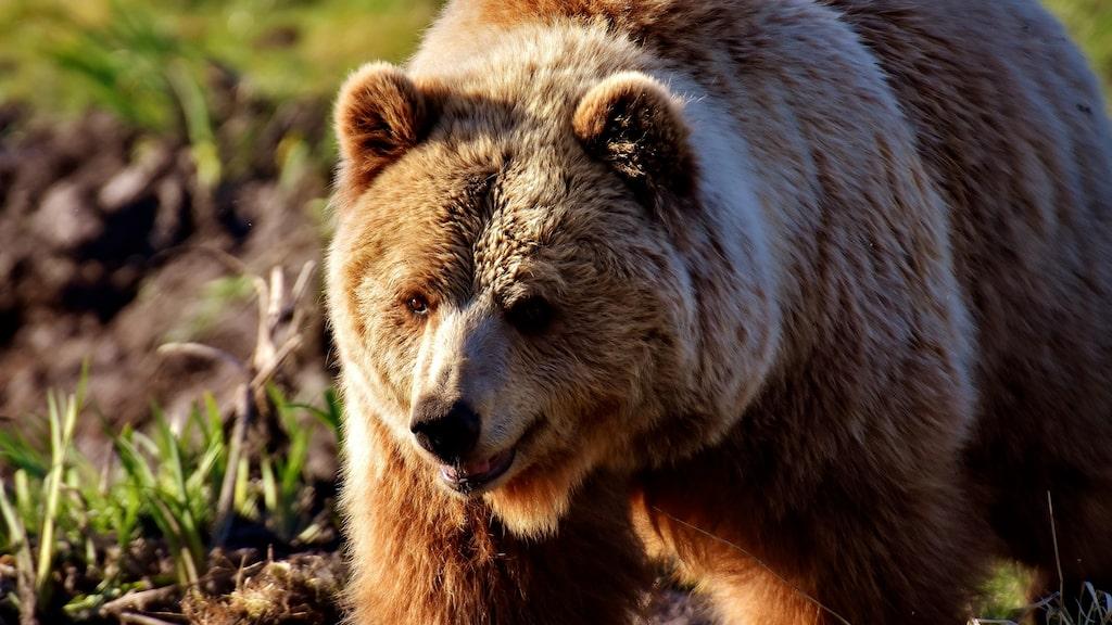 Hyr ett björnide i andra hand i sommar!