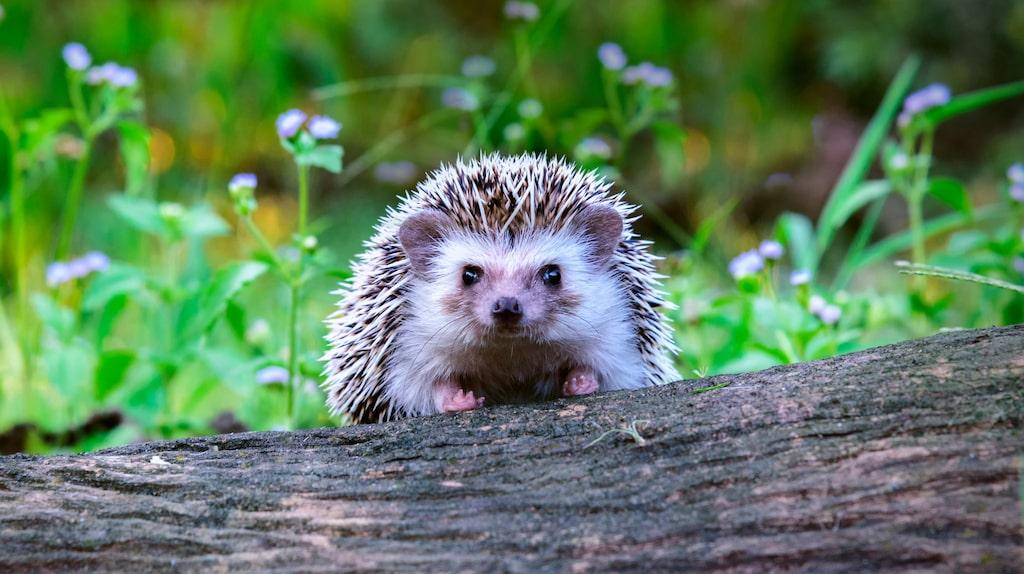 Igelkotten är inte bara gullig att titta på. Den är ett riktigt nyttodjur för trädgården och äter bland annat sniglar, maskar, tvestjärtar och andra insekter.