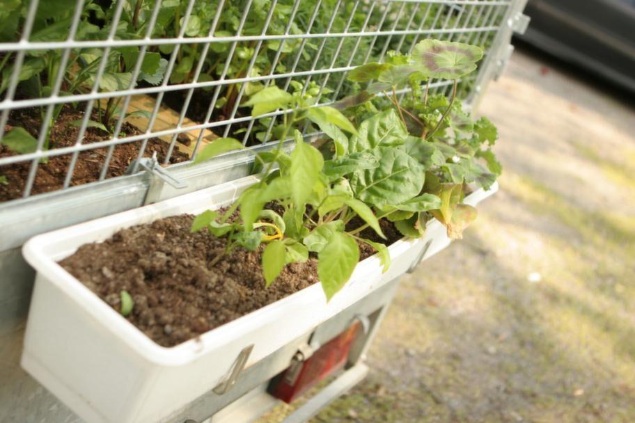 Grönt. <br>Mangold och pelargoner i den mobila odlingen.