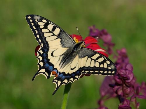 Makaonfjäril (Papilio machaon).