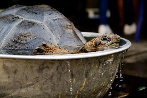 En hygienisk miljö är viktig för både dig och din sköldpadda.
