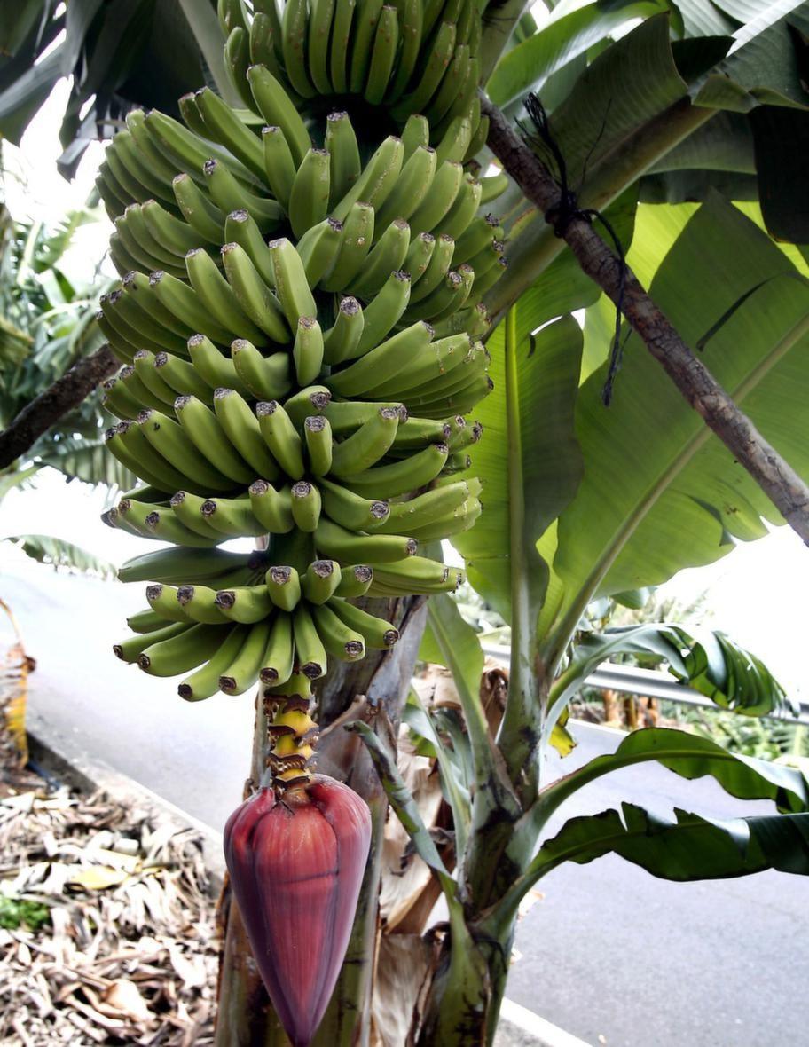 Ön försörjer sig främst på bananer.