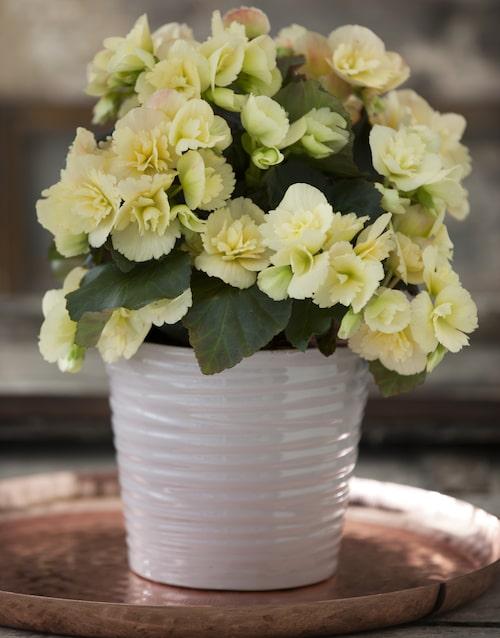 Den vanligaste blombegonian i svenska hem är höstbegonia (begonia x hiemalis).