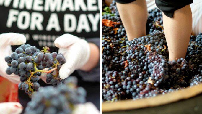 Tio ton druvor har forslats från vingårdar i Italien till The Winery Hotel i Solna. Hotellet gör varje år sitt eget vin i hotellets vineri.