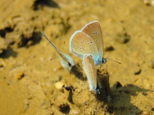 Ängsblåvinge (Polyommatus semiargus).