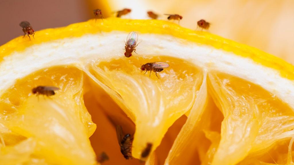 Bananfluga, eller fruktfluga som den kallas ibland, älskar din mogna frukt och dina sopor.