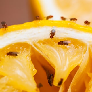 hur får man bort bananflugor i köket