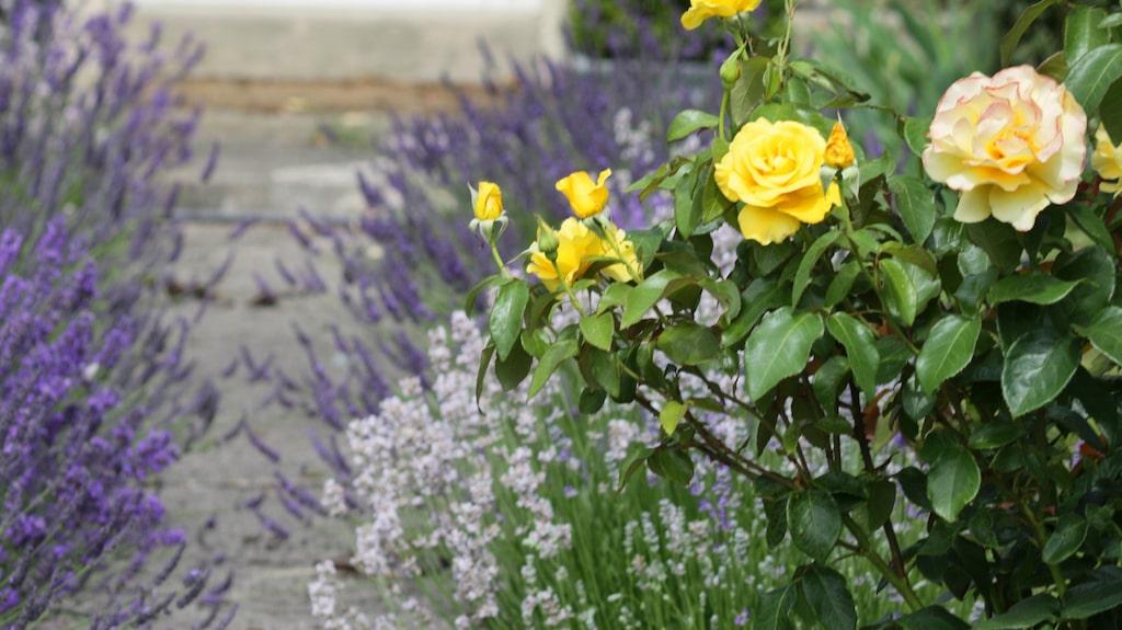 Lavendel och rosor är två sorter som blommar år efter år.