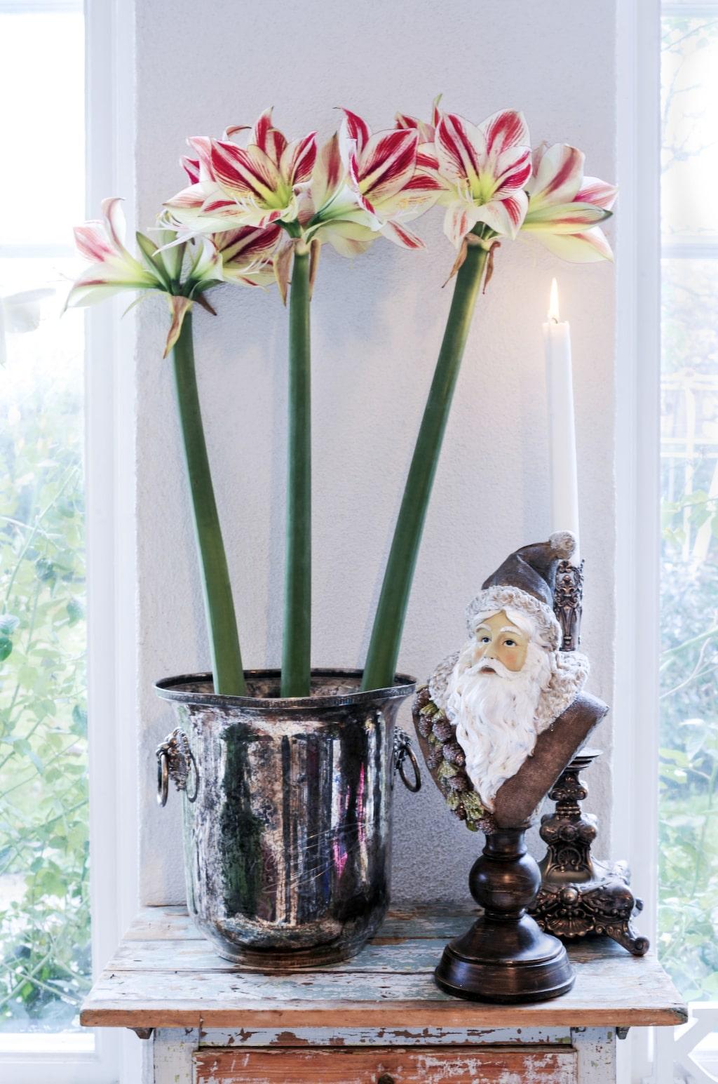 På det gamla bordet som fått behålla sin originalfärg har Håkan satt snittamaryllis i en antik champagnekylare från Frankrike, inropad på auktion. Tomtebysten kommer från FB interiör, ljusstaken i silver är arvegods.