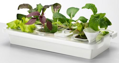 Hydroponisk odling med vatten och näringslösning. Odlingsset från Ikea.