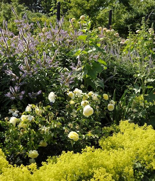 Kransveronika och daggkåpa i vacker kombination med gula rosor.