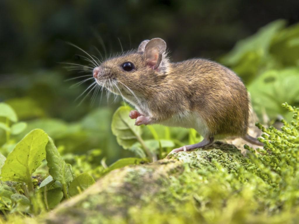 Möss är inte lika avskydda, men kan också ställa till med rejäl skada.