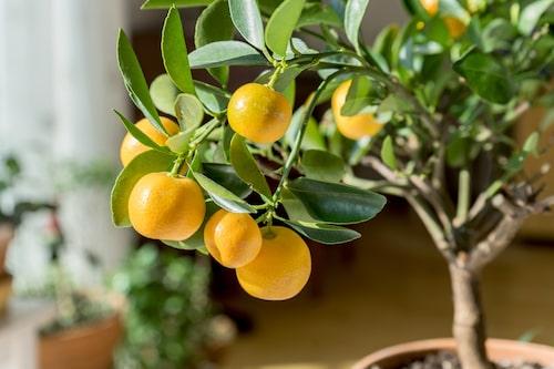 Om du vill ha ett litet, vackert citrusträd som tål varmare och något mindre ljusa vinterplatser kan du gå över till en kumquat.