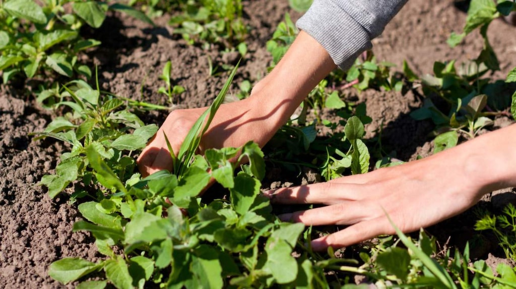 Att dra upp ogräset kan vara svårt. Vattna innan och ta hjälp av en kniv eller skruvmejsel så går det lättare.