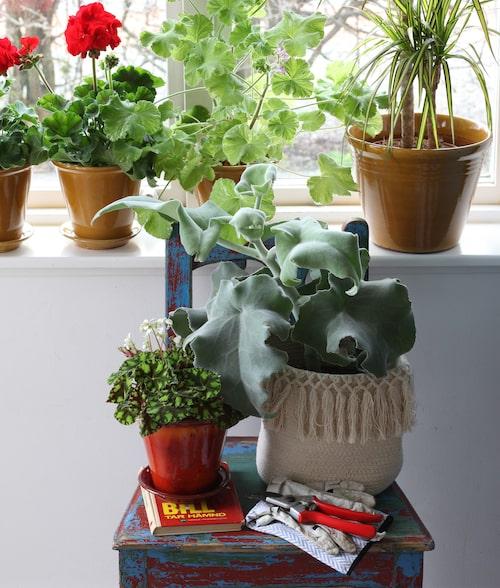 Alla blommor behöver inte stå i fönstret. Varför inte använda en stol som piedestal?