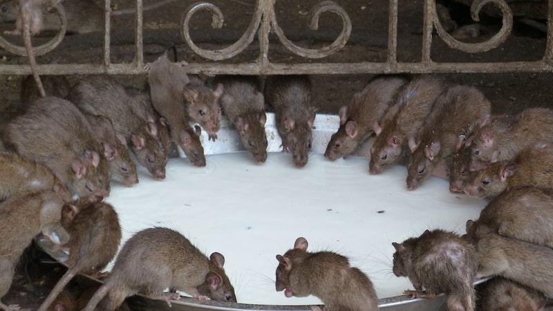Utöver kyla och utbudet av fallfrukt finns även andra faktorer som bidrar till årets ökning av råttor.