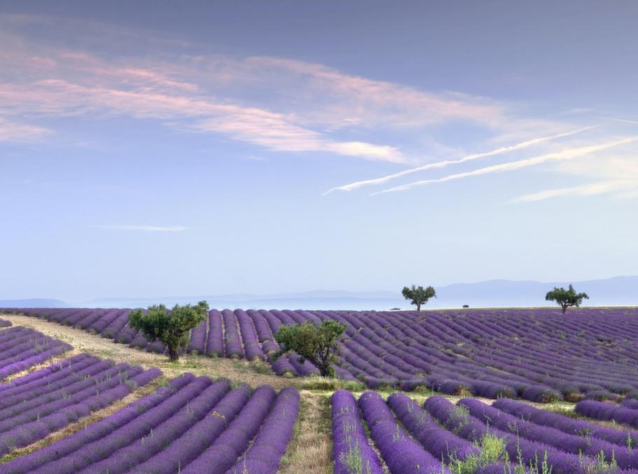 Vackert landskap - lavendelfälten sätter färg på Frankrike.