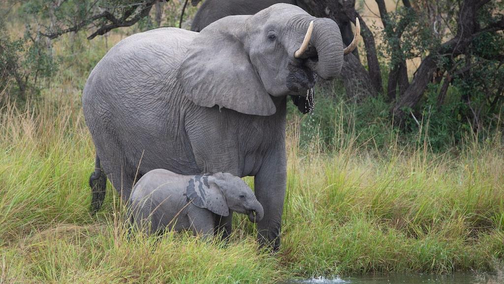 En elefant med unge i Djuma Private Game Reserve i Sydafrika.
