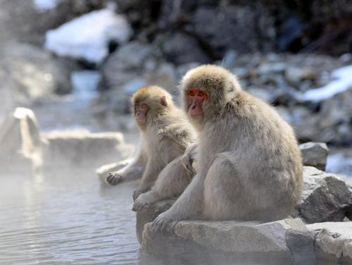 Japansk makak.