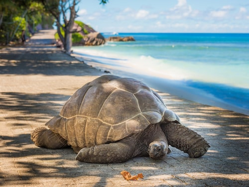 Galapagossköldpadda.