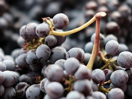 Druvorna som används för vintillverkning på The Winery Hotel i Solna kommer från vingårdar i Toscana, bland annat Terreno.