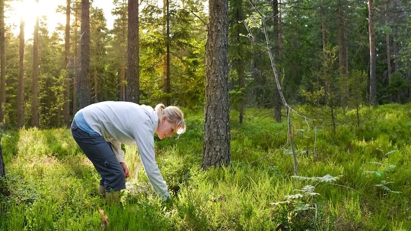 Den som gillar att plocka svamp eller bär i skogen i början av hösten kanske har stött på otrevliga älgflugor.