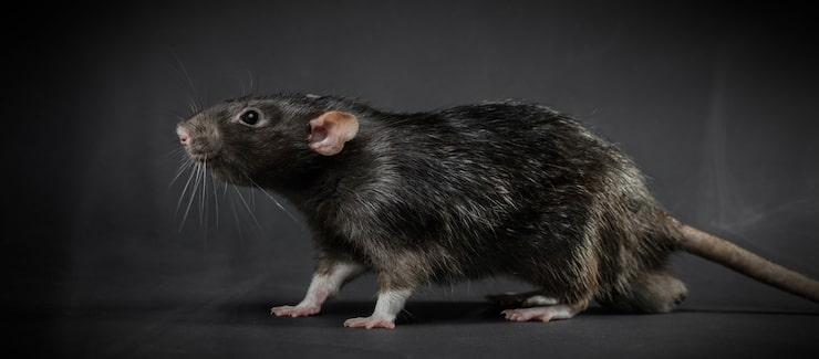 Råttor är lättskörra och sociala.
