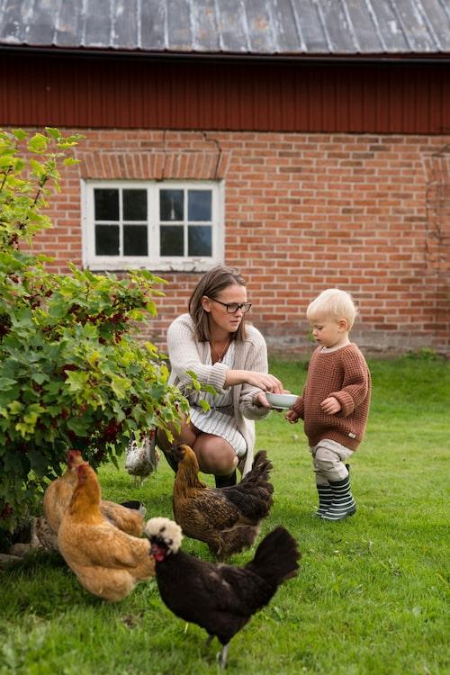 Familjen har flera höns, och att hämta in ägg från hönsgården är ett dagligt inslag som uppskattas av lille Vilhelm.
