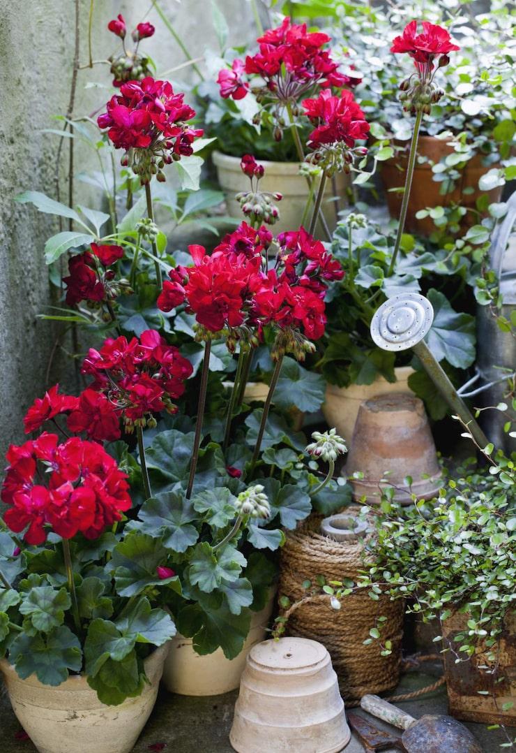 Klassisk växt. 'Velvet Red' blev Årets pelargon 2013. Oslagbar färgkombination, sammetsröd blomma, mörkt gröna blad med en ton av purpur och mörka, vackra stjälkar.