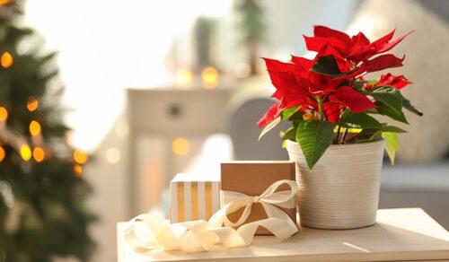 Julstjärnan trivs bäst i rumstemperatur, någonstans mellan 15 och 22 grader.