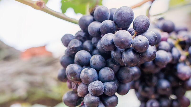 Zinfandel är den mest planterade druvan i Kalifornien, men kommer ursprungligen från Kroatien. Druvan går även under namnet primitivo.