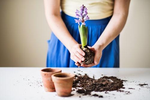 Hyacinter blommar vanligtvis ett par veckor.