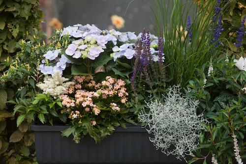 Astilbe med vita vippor, ljusblå hortensia, taranta med persikofärgade blommor, färgstark salvia, gräs och silvergirland.