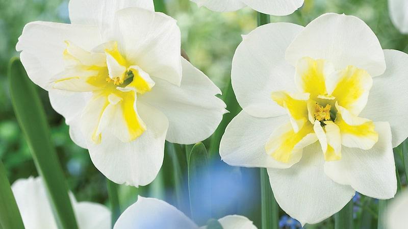En narciss blir cirka 35–45 centimeter hög och trivs bäst i sol eller halvskugga.