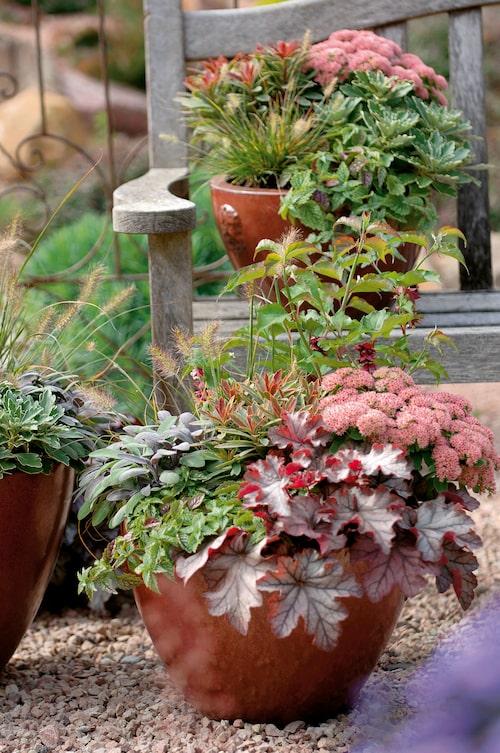 Salvia, kärleksört, alunrot, prydnadsgräs och heuchera i en härlig höstplantering.