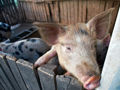 Glada grisar på Forsa Gård.