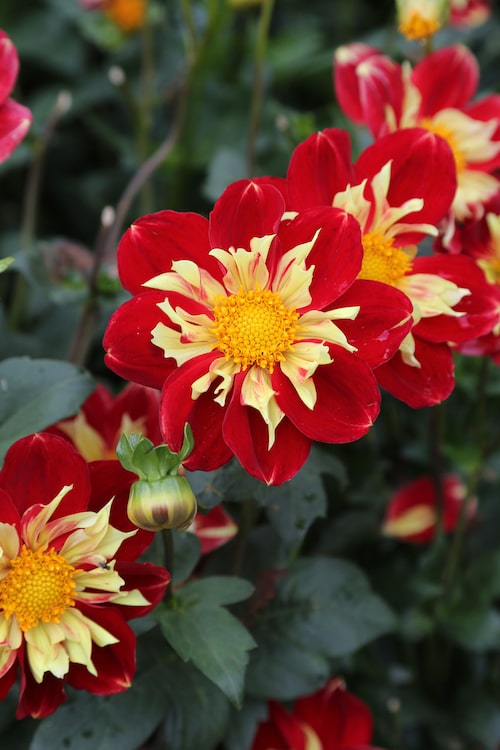 """""""Raisa"""" är en halskråsdahlia i lysande rött med ljust gult runt den gula knappen i blommans mitt. Varje blomma blir 5-10 centimeter stor och sitter i toppen av en cirka 110 centimeter hög planta."""