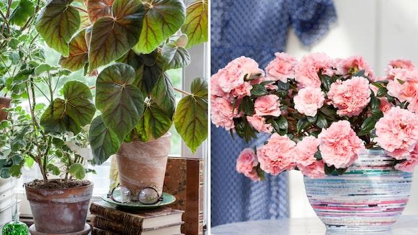 Bladbegonia och azalea är lika populära nu som för 70 år sedan.