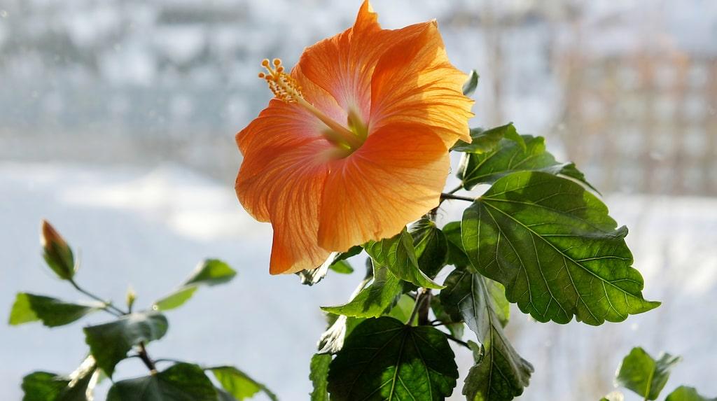 Blomman finns i flera olika färger, från vitt och gult till blått, lavendellila och rött.