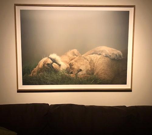 Ovanför soffan hänger en stor bild på lejon som myser.