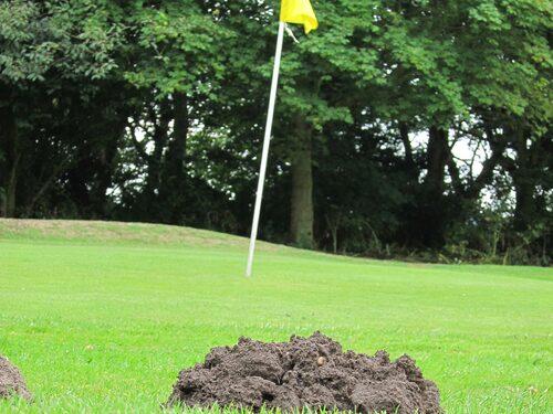 Även på golfbanorna är mullvaden ett stort problem.