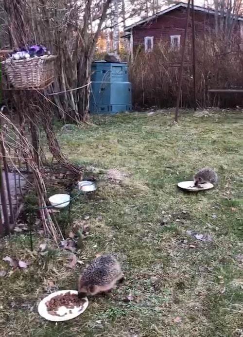 Några av de övervintrande igelkottarna i Carinas trädgård har nyligen vaknat efter vintervilan och smaskar i sig kattmat.
